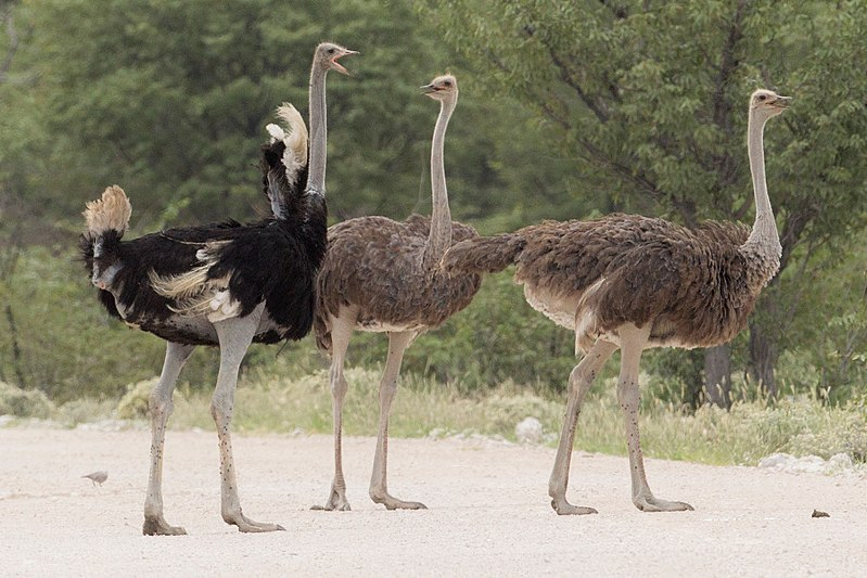 The pan-handler and the Ostriches